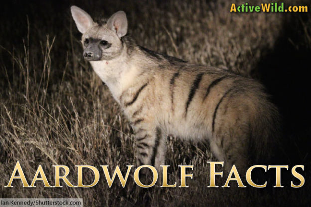 aardwolf facts