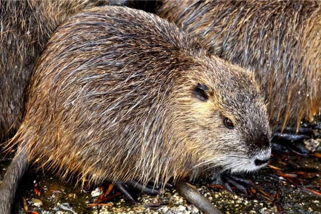 animals that start with c coypu