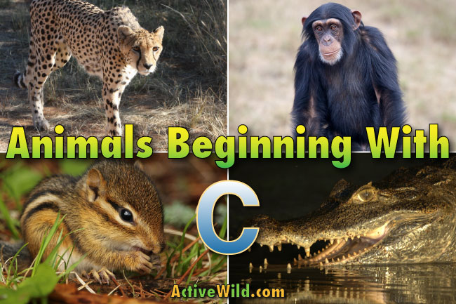 animals that start with c