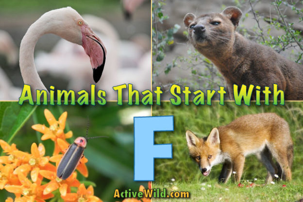animals that start with f