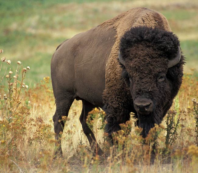 bison american