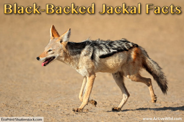 black backed jackal facts