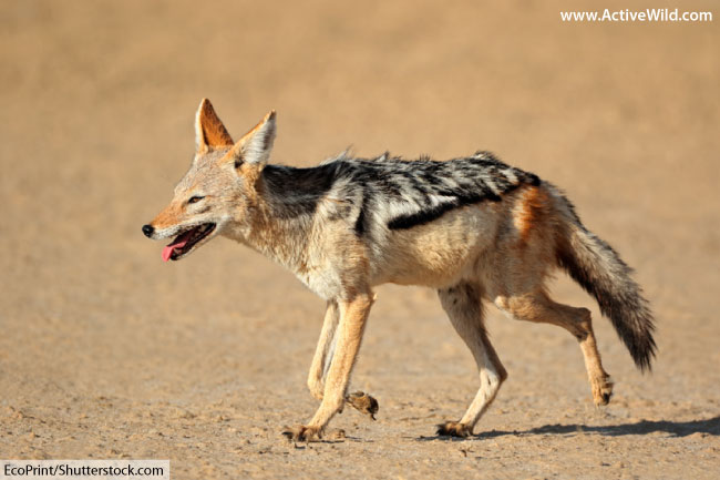 black backed jackal in desert