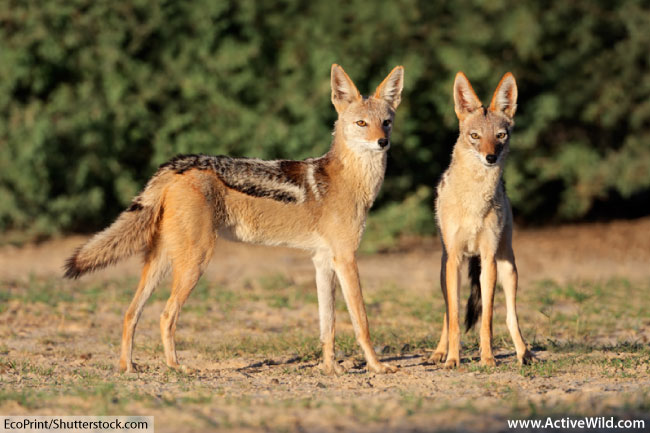 black backed jackals in the wild