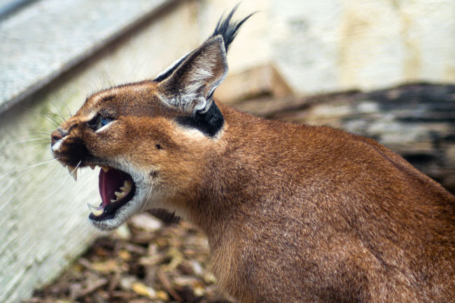 caracal angry expression