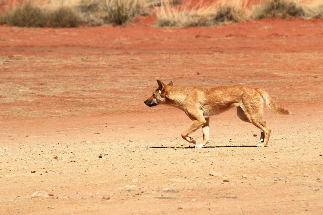 animals that start with d dingo