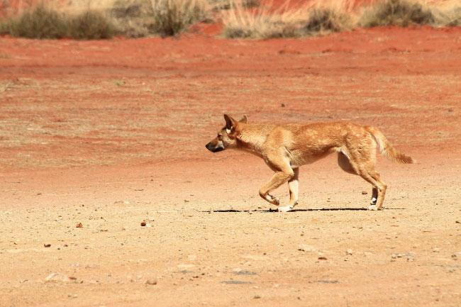 animals that start with d dingo