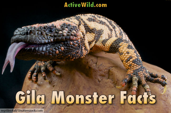 Gila Monster Facts, Pictures, Information & Video: USA's ...