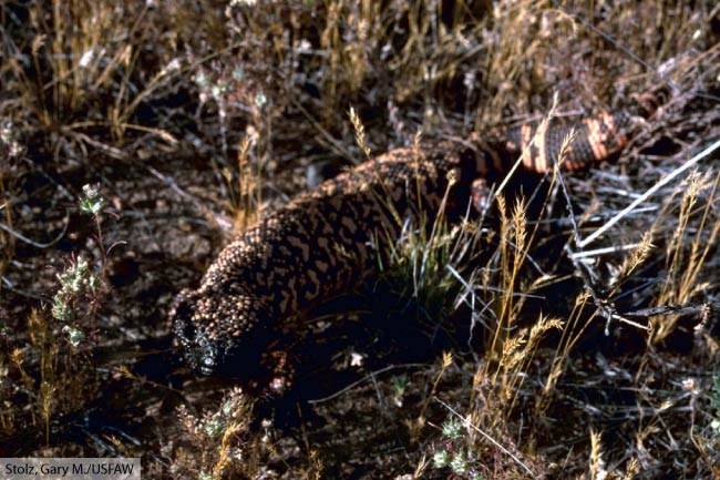 gila monster in grass
