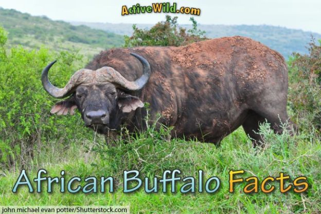 African buffalo facts