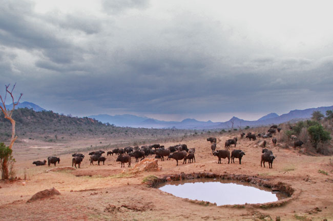 African buffalo herd at a water hole