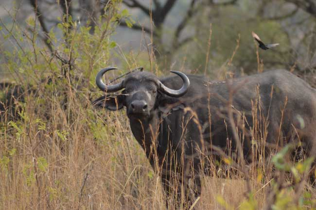 One of the most dangerous animals in Africa - the African Buffalo