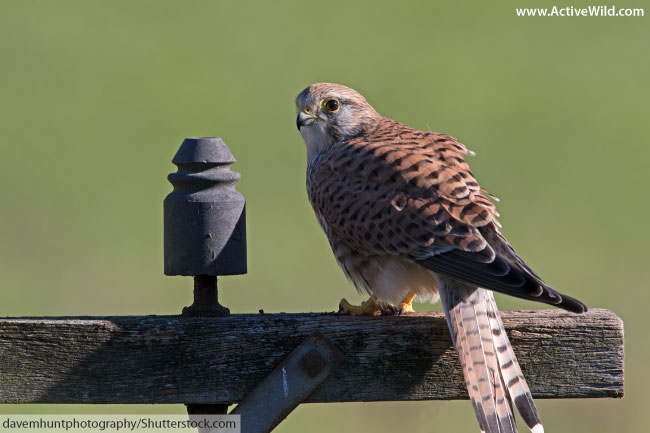 animals that start with k kestrel