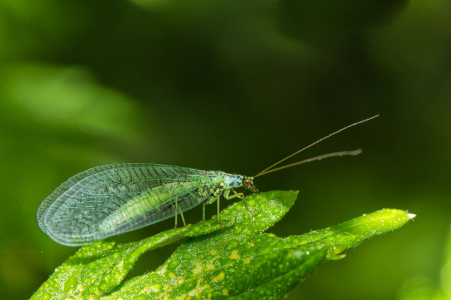 animals that start with l lacewing