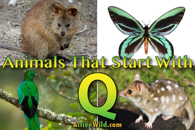 animals that start with q