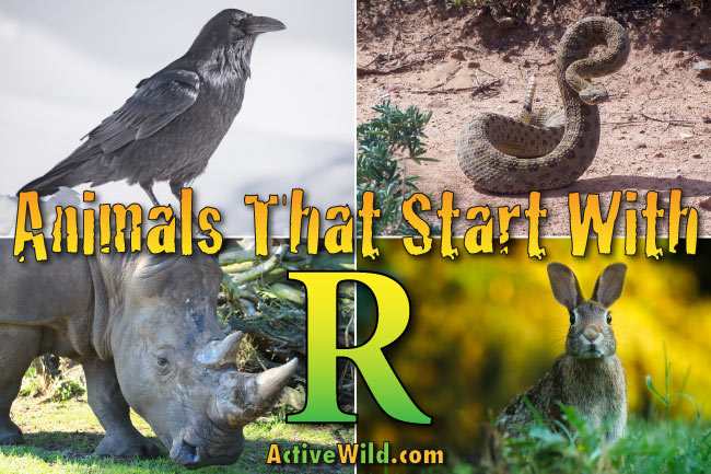 animals that start with the letter u animals that start with r list of awesome animals 20462 | animals that start with r