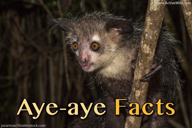 aye aye facts