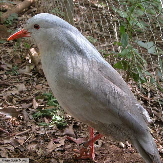 animals that start with k - kagu