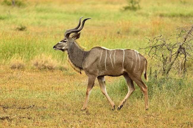animals start letter beginning kudu names amazing