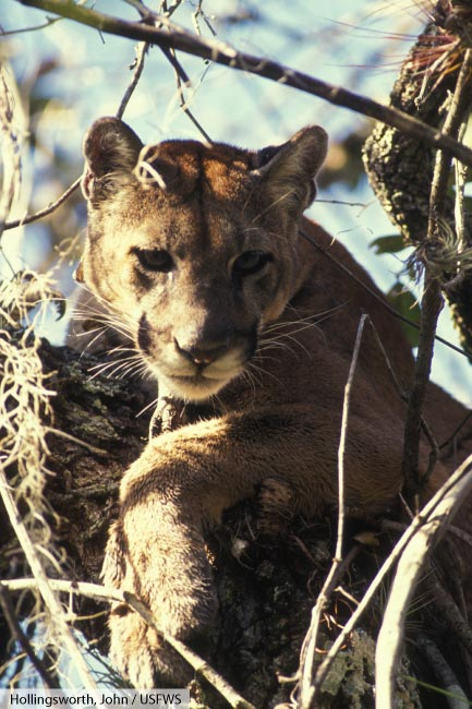 Hechos Animales Puma eUkqd603