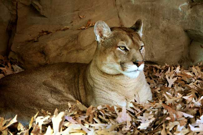 mountain lion in den