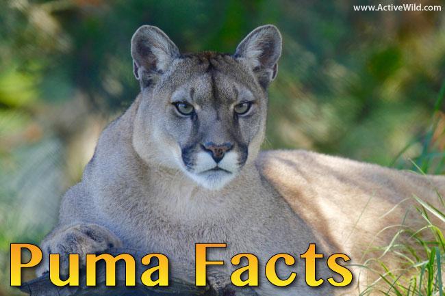 puma facts