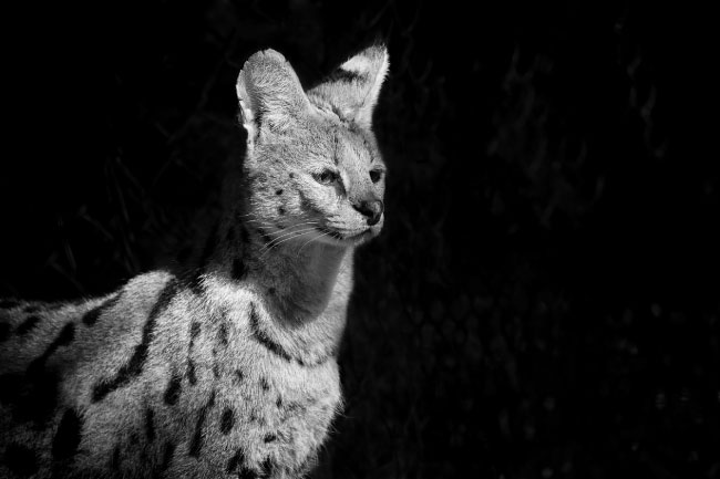 serval cat black and white