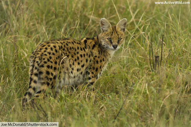 serval cat in grass