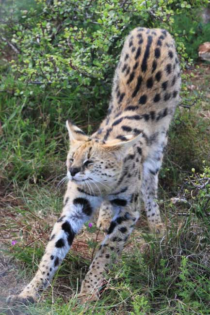 serval stretching