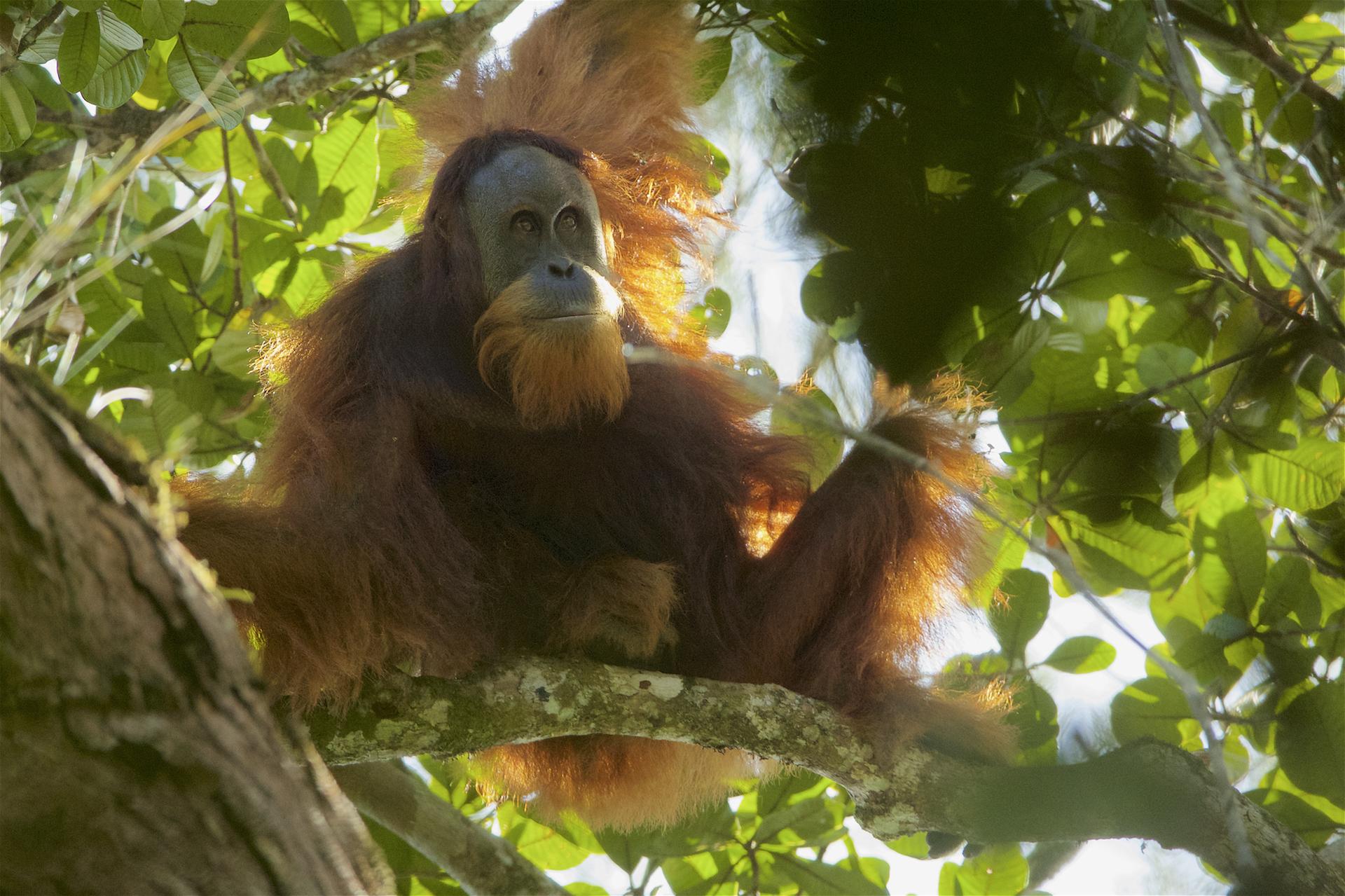 the new orangutan