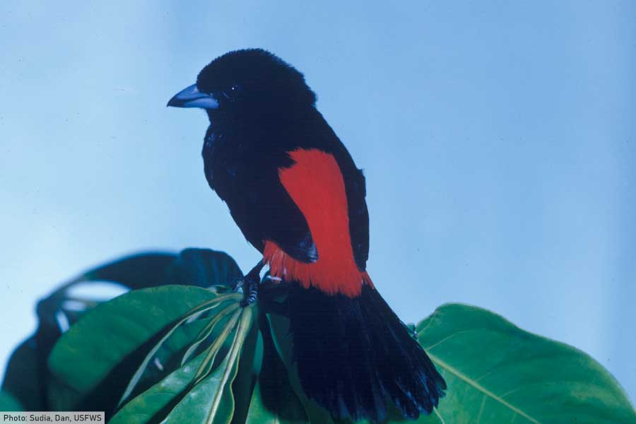 Scarlet Rumped Tanager