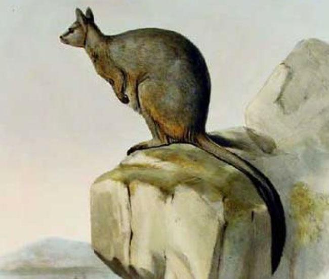 Unadorned Rock Wallaby