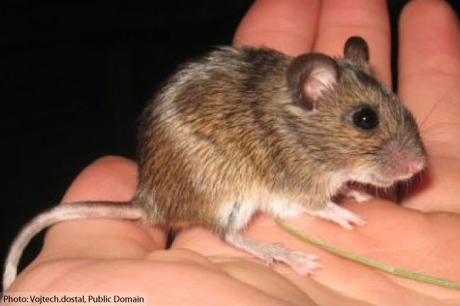 Ural Field Mouse