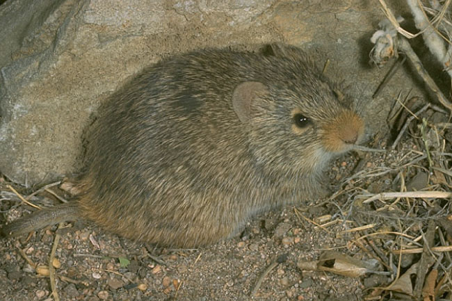 Yellow-Nosed Cotton Rat