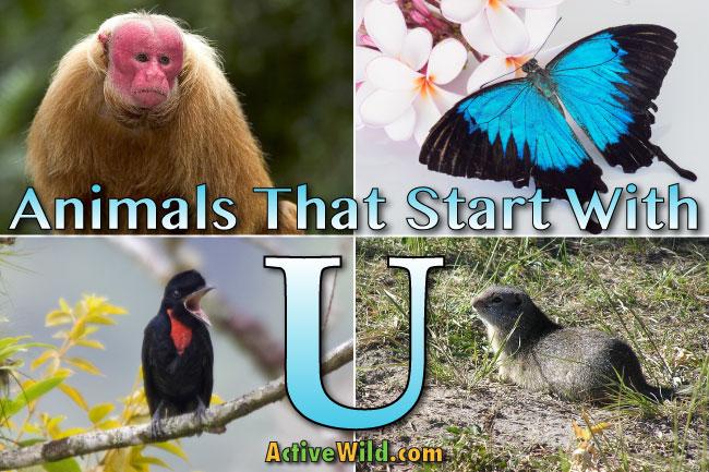 Animals That Start With U List Of Amazing Animals Beginning With U