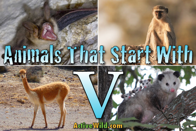 Animals That Start With V List Of Amazing Animals Beginning With V