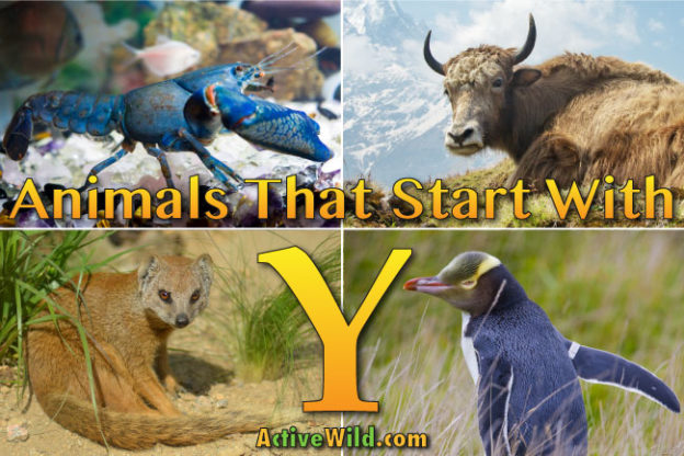 animals that start with y: list of amazing animals beginning with y