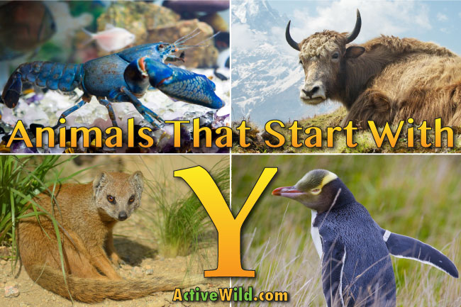 Animals That Start With Y List Of Amazing Animals Beginning With Y