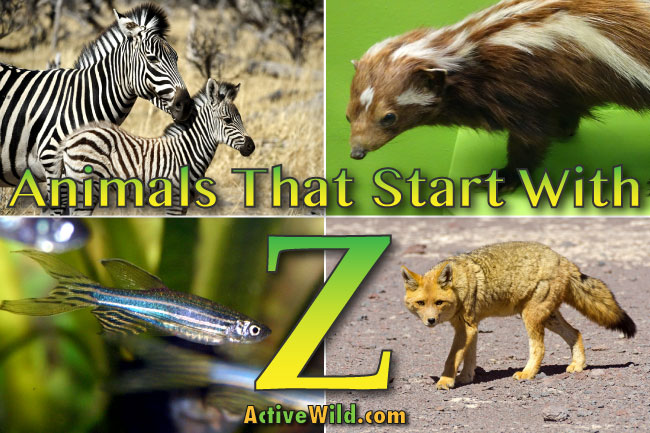 Animals That Start With Z List Of Amazing Animals Beginning With Z