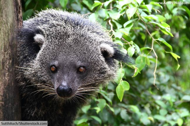 binturong face close up