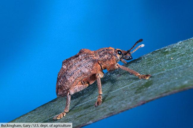 leaf weevil