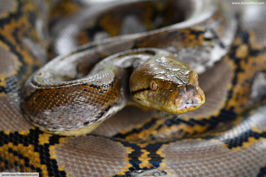 reticulated python face close up