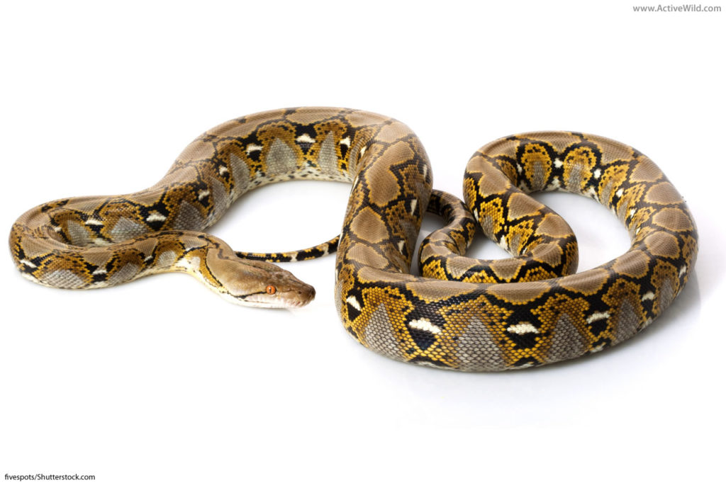 reticulated python on white background
