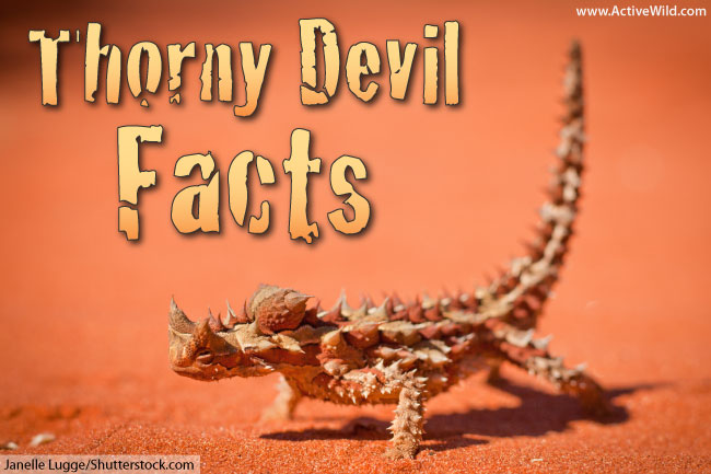 thorny devil facts