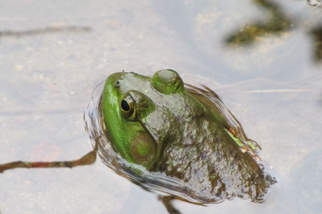 American bullfrog swimming