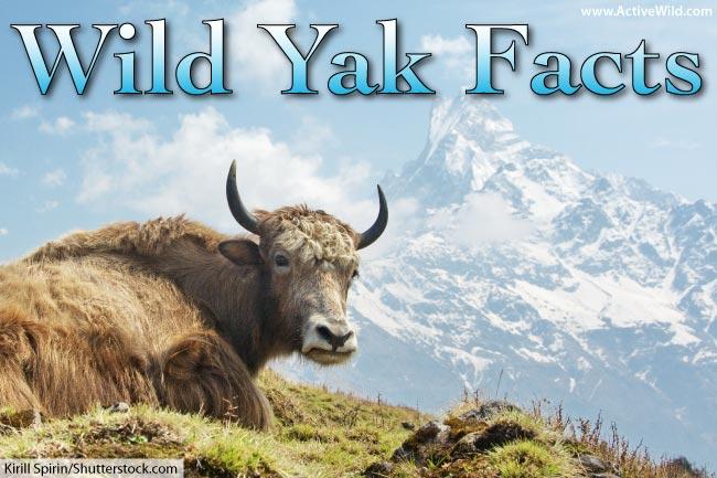 wild yak facts