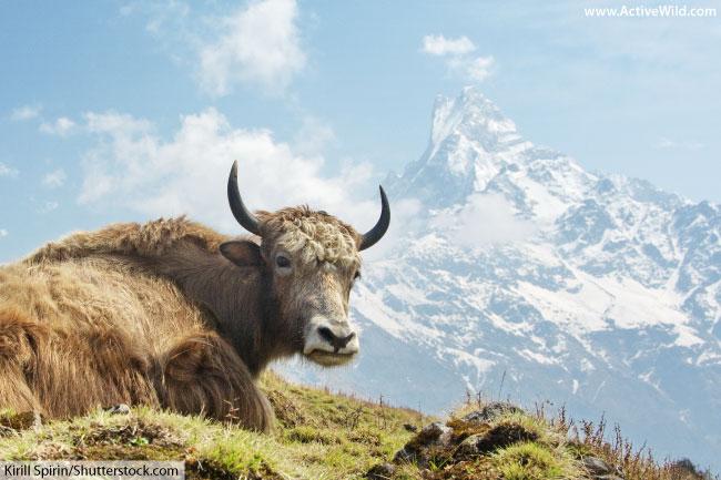 wild yak tibet