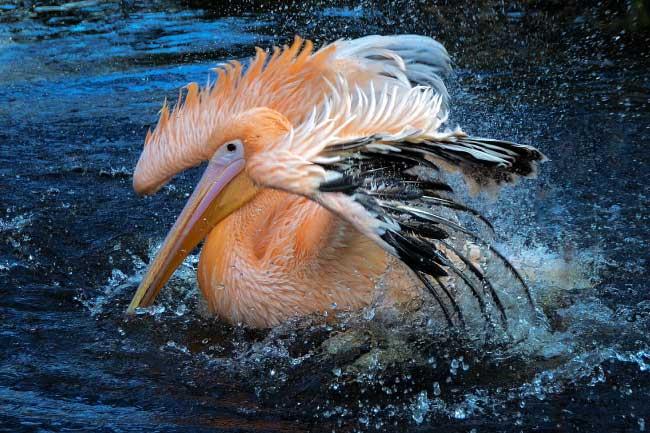 Pelican having a bird bath