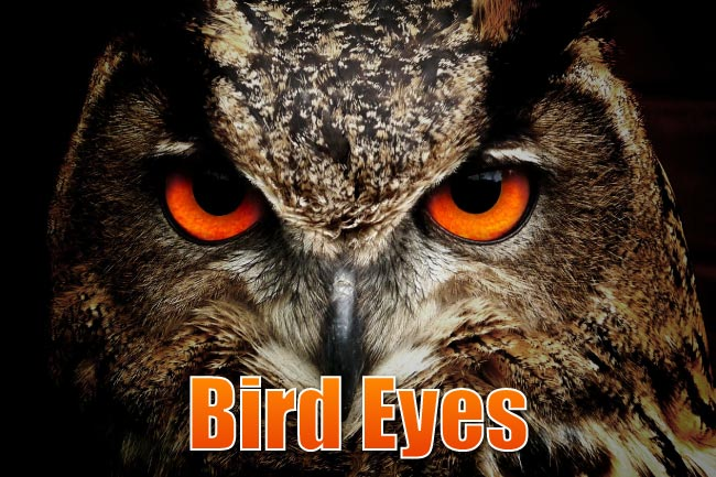 bird eyesight