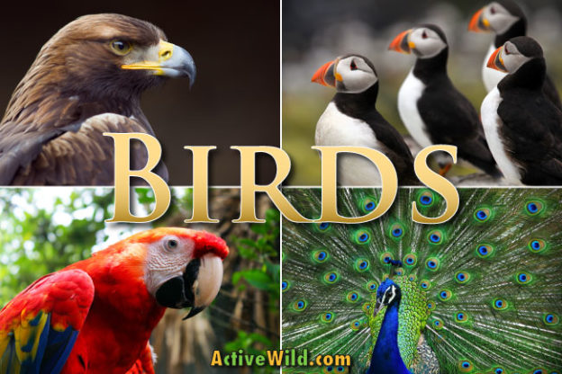 birds facts and information